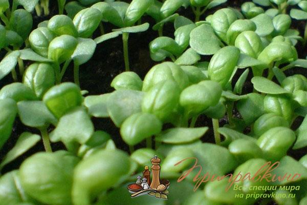 Все о том, как сажать семена базилика на рассаду