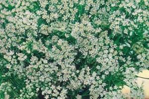 Выращивание аниса из семян - как и где растет как сажать видео