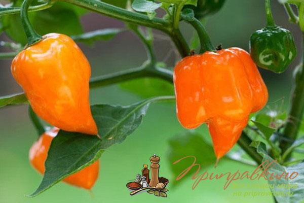 Как выращивать горький перец в домашних условиях?