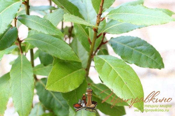 Лавровый лист выращивание в домашних условиях