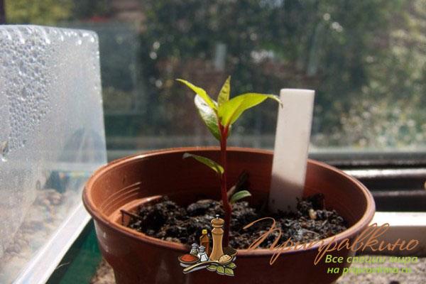 Как вырастить лавровый лист дома