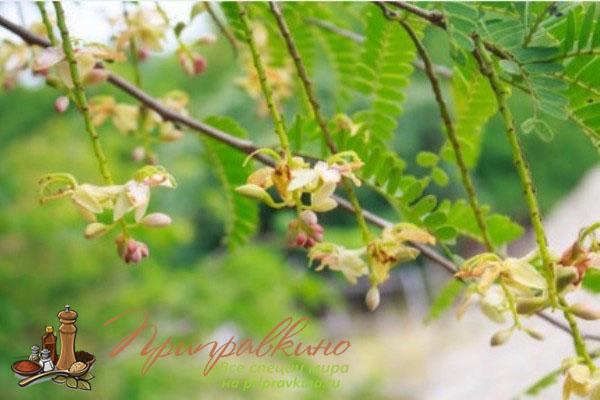 На фото цветущая ветка дерева тамаринд