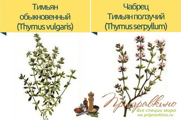 Разница между тимьяном обыкновенным и чабрецом