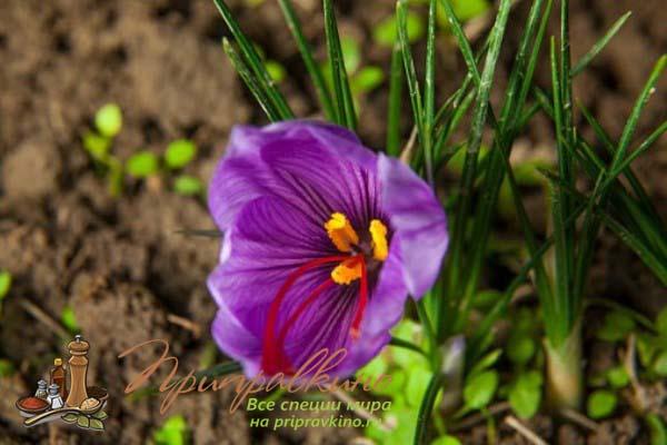 Как выглядят цветы шафрана – фото
