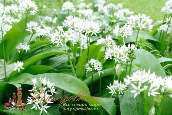 Как цветет черемша – фото
