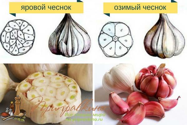Сроки посадки озимого чеснока в ростовской области