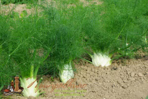 Фенхель выращивание из семян в открытом грунте