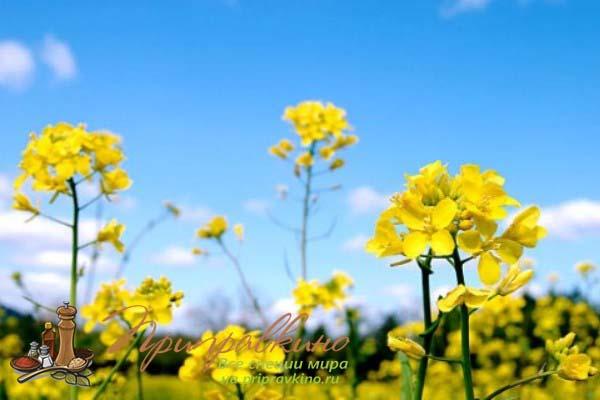 Цветы горчицы – фото