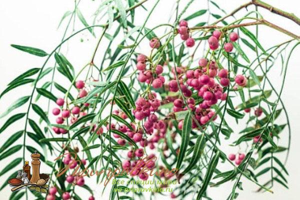 Как растет розовый перец Schinus molle