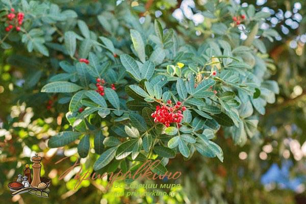 Как растет розовый перец Schinus terebinthifolius