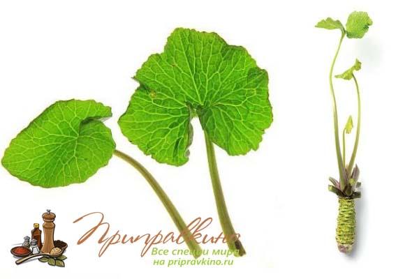 Как выглядят листья и корень растения васаби – фото