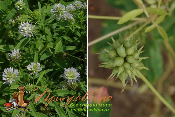 Фото цветков и стручков растения голубой пажитник (Trigonella caerulea).