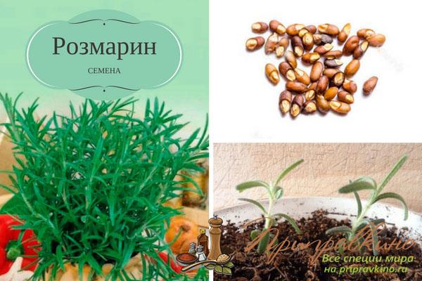 Как сажать семена розмарина 131