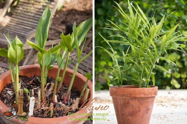 Имбирь - выращивание в домашних условиях, как сажать, где и как