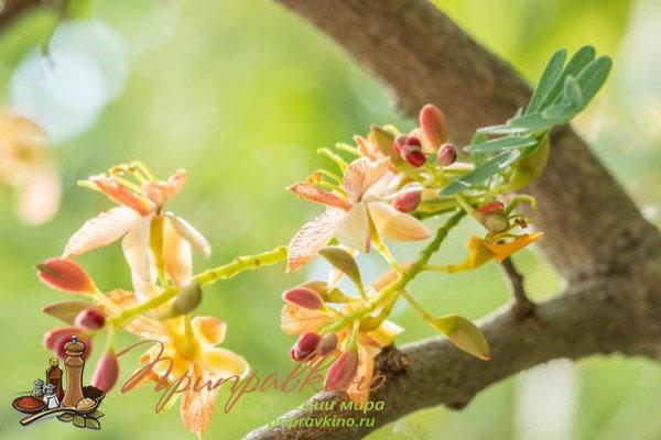 Цветы тамаринда – фото