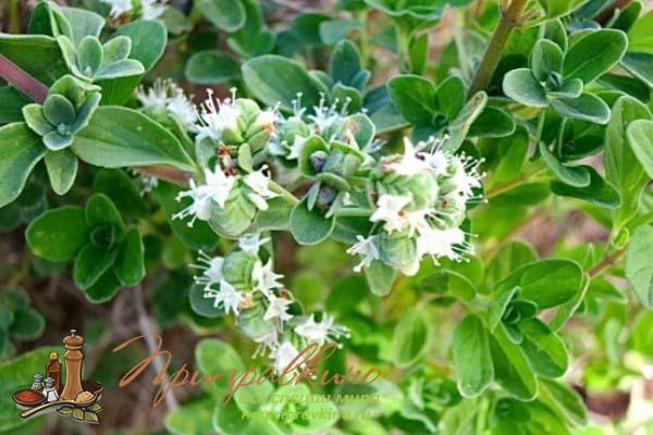 Цветок майорана на фото