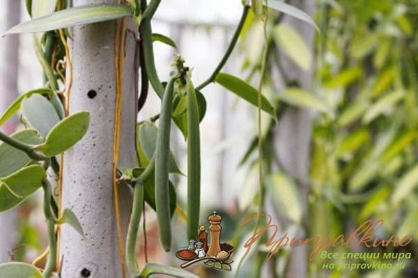 Ваниль Vanilla planifolia