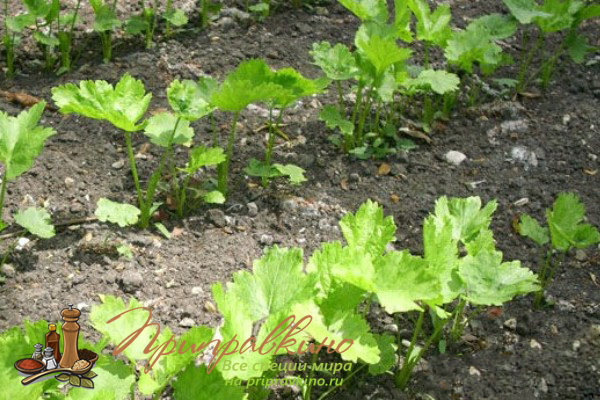 Пастернак выращивание из семян 45